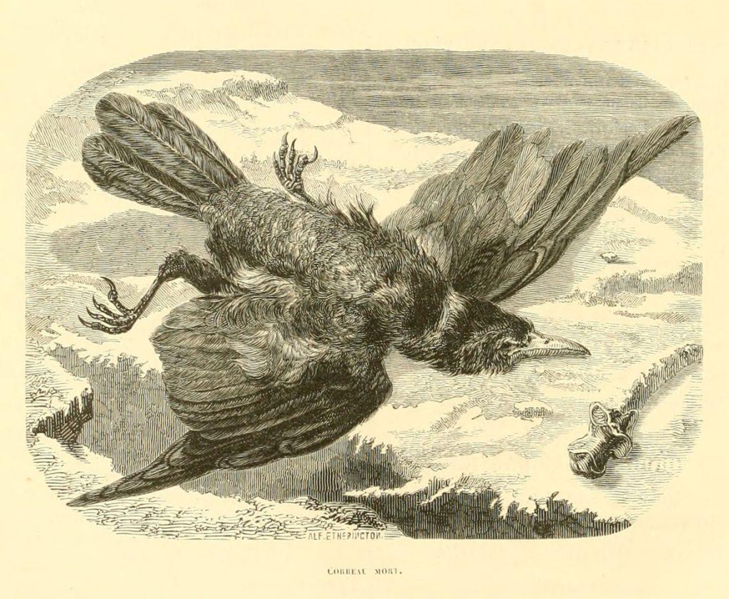 Alfred Etherington, Corbeau mort, gravure du XIXème